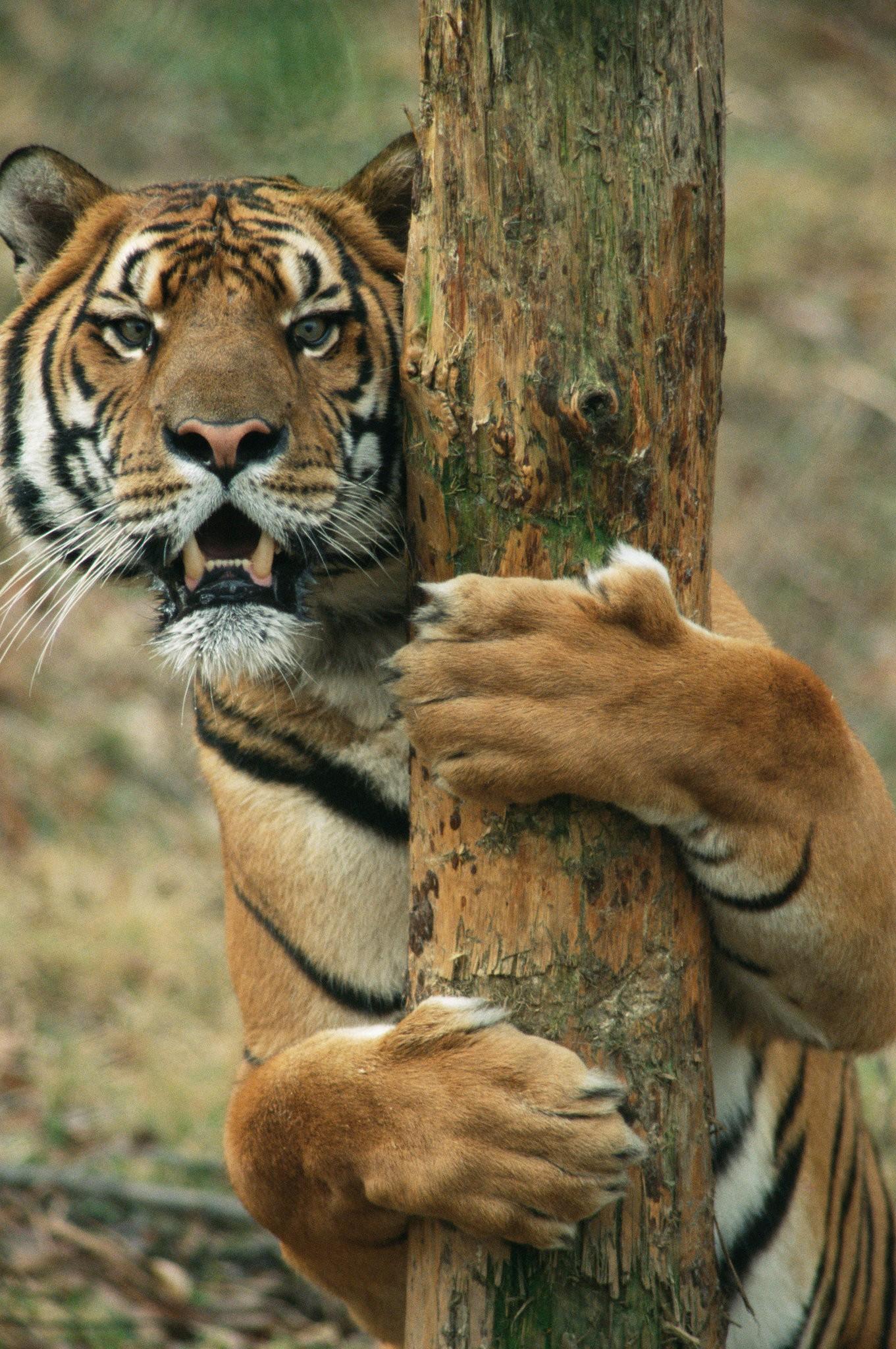 Tiger Extinction Climate Change Poaching Habitat Loss