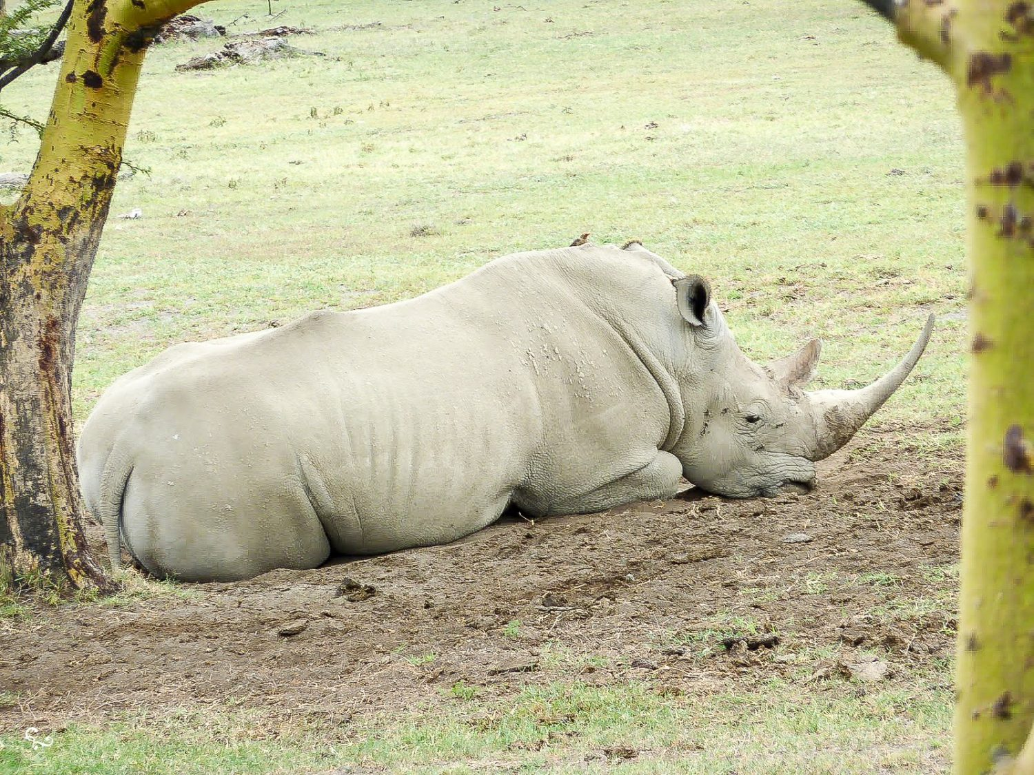 White Rhino Kenya Nakuru National Park Extinct Nowhere and Everywhere Lis Dingjan